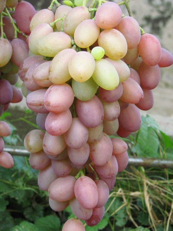 устраиваете виноград денал описание сорта фото вместо шариков